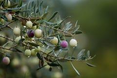 Filial av olivträdet med frukter och sidor, naturlig jordbruks- matbakgrund royaltyfri fotografi
