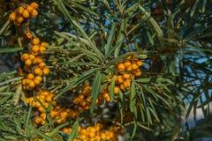 Filial av orange havsbuckthornbär fotografering för bildbyråer