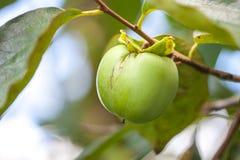 Filial av persimonträdet med en omogen frukt Royaltyfria Bilder
