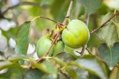 Filial av persimonträdet med omogen frukt två Arkivbilder