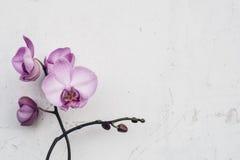 Filial av phalaenopsisorkidén med denfärgade blomningen Royaltyfri Fotografi