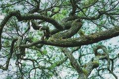 Filial av Pinusmerkusiien royaltyfria foton