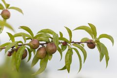 Filial av plommonet med frukt arkivbilder