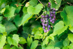 Filial av röda druvor i vingården Arkivbilder