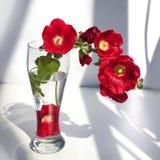 Filial av röda malvablommor, bukett i en exponeringsglasvas med vatten i en stråle av solljus och skugga på det vita bakgrundsslu arkivfoton