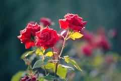 Filial av röda rosor för en buske med droppar på en bakgrund av gr arkivbild