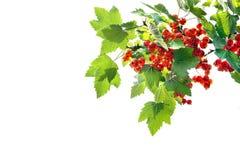 Filial av röda vinbär Fotografering för Bildbyråer