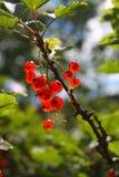 Filial av röda vinbär på en blured naturlig bakgrund royaltyfri foto