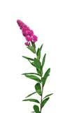 Filial av rosa den isolerade frottéastilben Fotografering för Bildbyråer