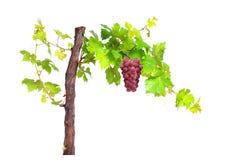 Filial av sidor för vinranka för röda druvor som isoleras på vit bakgrund arkivbild