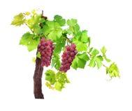 Filial av sidor för vinranka för röda druvor som isoleras på vit bakgrund arkivbilder
