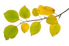 Filial av sidor för en höst för äppleträd c Arkivbilder