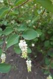 Filial av snowberryen med vita frukter Royaltyfri Foto