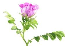 Filial av sweetbriar rosa & x28; Rosa rubiginosa& x29; med rosa färger blomma och göra grön sidor som isoleras på vit bakgrund Royaltyfri Bild