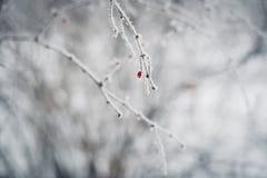 Filial av trädet med rött berried dolt i vit frost Royaltyfria Foton