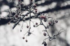 Filial av trädet med rött berried dolt i vit frost Arkivbild