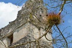 Filial av trädet med tempel I på bakgrunden, i Tikal Arkivbild