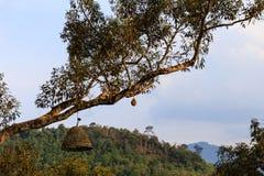 Filial av trädet som hänger med Durianfrukt och den sol- drev lampan Fotografering för Bildbyråer
