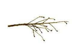 Filial av treen Royaltyfria Foton