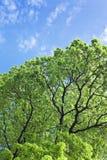 Filial av treen i Sunen Royaltyfri Fotografi