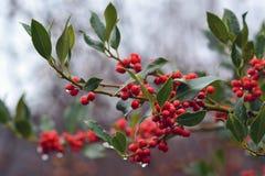 Filial av växten för cultivar JC skåpbil Tol för järnek för Aquifoliaceaev Ilex den gemensamma med röda bär och fallande regndrop royaltyfri foto
