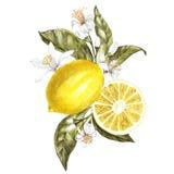 Filial av vattenfärgcitronträdet med sidor, gula citroner och blommor Hand drog vattenfärgbeståndsdelar för din design stock illustrationer