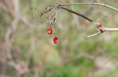 Filial av viburnumen med torkade frukter royaltyfri foto