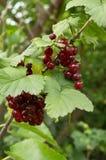 Filial av vinbäret Royaltyfria Foton