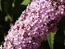 Filial av Violet Tiny Flowers på en trädfilial fotografering för bildbyråer