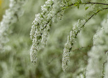 Filial av vita blommor royaltyfria foton