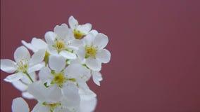 Filial av vita blommor av plommonet och aprikons stock video