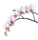 Filial av vita orkidér Arkivbild