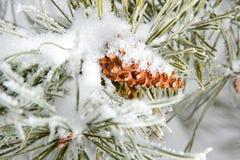 Filial conífera congelada do pinho com cone Fotografia de Stock Royalty Free