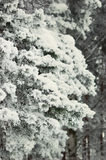 Filial congelada do pinho Fotografia de Stock