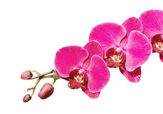 Filial cor-de-rosa da orquídea Fotografia de Stock Royalty Free