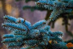 Filial da árvore de Natal imagem de stock royalty free