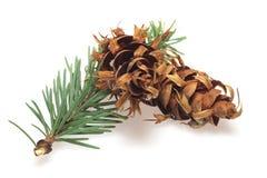 Filial da árvore de Natal isolada Imagens de Stock