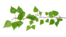 Filial da árvore de vidoeiro Fotos de Stock