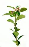 Filial da airela com flores Fotografia de Stock