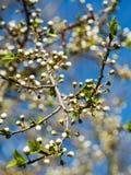 Filial da ameixa-árvore Foto de Stock Royalty Free