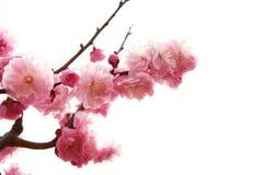Filial da ameixa com flores Foto de Stock Royalty Free