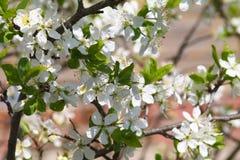 Filial da ameixa de florescência Fotos de Stock