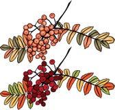 Filial da baga de Rowan do outono ilustração do vetor