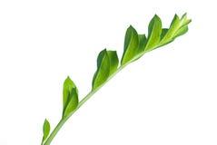Filial da flor isolada no branco Imagens de Stock Royalty Free