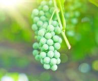 Filial da fruta das uvas Imagens de Stock Royalty Free