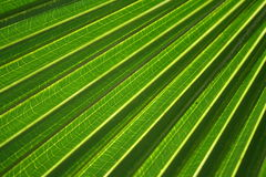 Filial da palma Fotografia de Stock