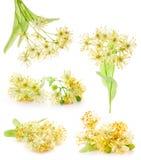 Filial das coleções de flores do linden foto de stock