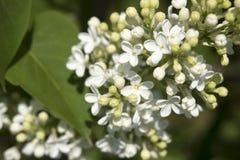 Filial das flores brancas do lilac Imagem de Stock