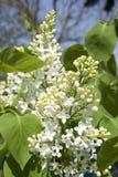 Filial das flores brancas do lilac Imagens de Stock