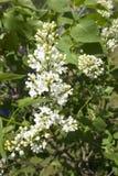 Filial das flores brancas do lilac Foto de Stock
